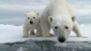 BBC Film – Arctic Polar Bears on Thinning Ice