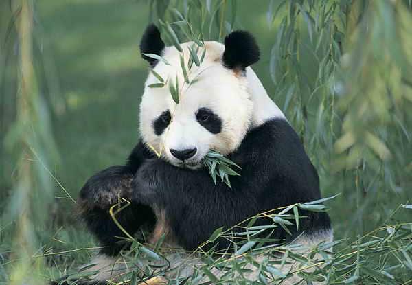 Giant Panda Quiz!