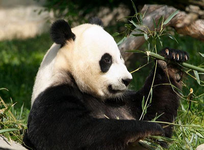 Giant Pandas Promote Conservation and Diplomacy